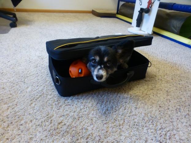 Dash in his new suitcase.